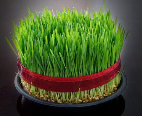 آموزش کاشت سبزه عيد نوروز