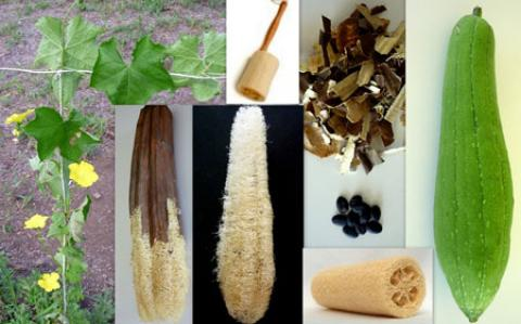 خواص و موارد مصرف گیاه لوفا (قنطوریون صغیر)