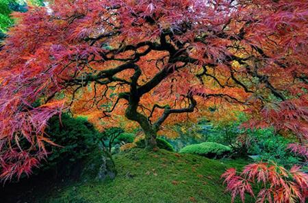 بلندترین درخت بهشتی, معروف ترین درخت بهشتی, مهمترین درخت بهشتی