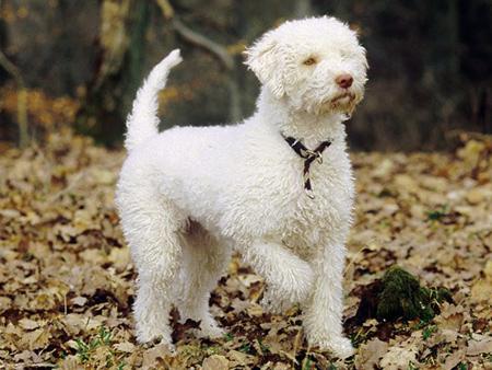 نژاد سگ های کوچک, درباره ی سگ هلاگوتو رومانگوئلو