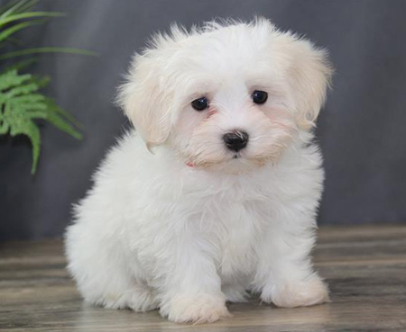 نژادهای سگ های كتون,آشنایی با نژادهای متفاوت سگ ها