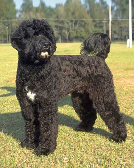 سگ آبی پرتغالی,آشنایی با سگ های کوتوله