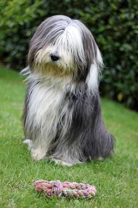 انواع نژادها سگ,سگ ریش کولی