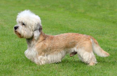 تصاویر دندی دینمونت تریر,نژاد سگ های کوچک