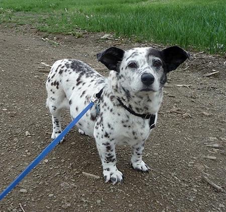نژاد ترکیبی از سگ ها, ترکیب کردن نژادهای مختلف سگ ها