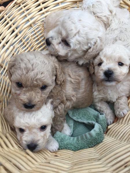 شناخت سگ ها با نژادهای متفاوت, آشنایی با سگ ها با نژادهای مختلف