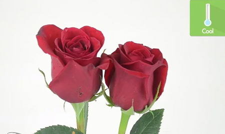 خرید بهترین گل رز, تکنیک های خرید گل رز