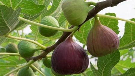 نکاتی برای نگهداری از درخت انجیر, کاشت داشت و برداشت انجیر