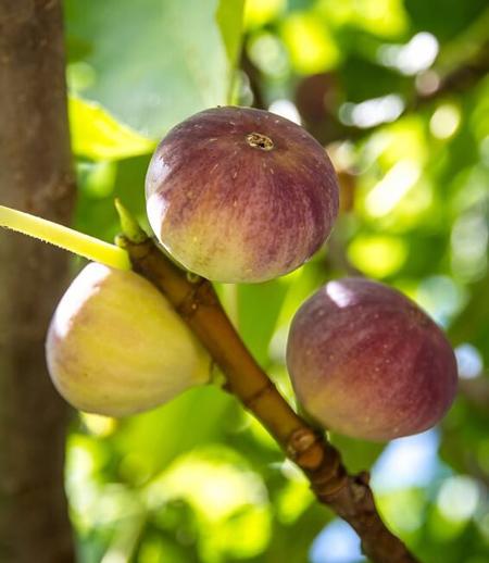 آشنایی با درخت انجیر,نکته هایی برای نگهداری از درخت انجیر
