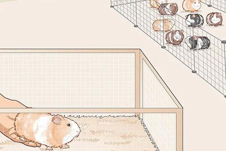 روش مراقبت از عفونت گوش خوکچه ی هندی, نکاتی برای نگهداری از عفونت گوش خوکچه ی هندی
