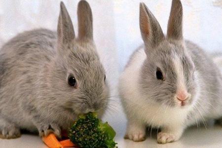 خرگوش مینیاتوری,خرگوش خانگی