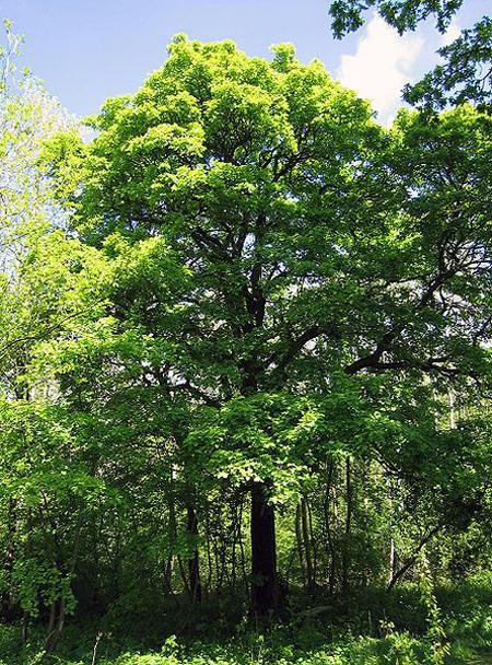 درخت بارانک,آشنایی با درخت بارانک