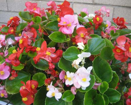 گل بگونیا عروس,نگهداری از گل بگونیا عروس