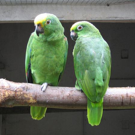 نحوه سخن گفتن حیوانات,آشنایی با کلاغ سخن گو