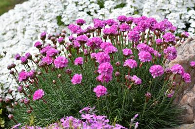 آشنایی با گل آرمریا