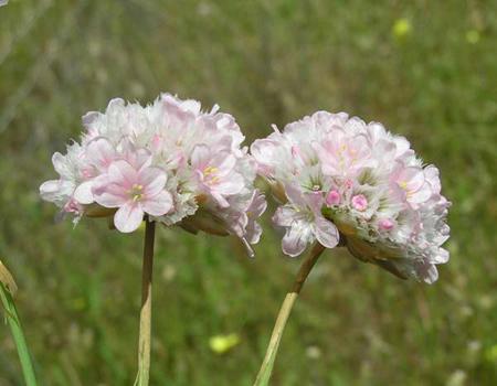 تصاویر گل آرمریا, انواع گل آرمریا