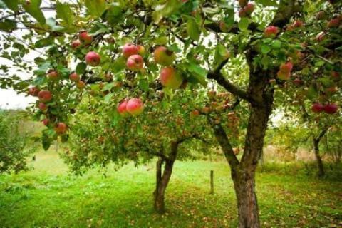روش های کاشت و پرورش درخت سیب  کاشت و پرورش درخت سیب