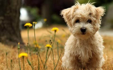 8 نژاد کوچکترین سگ های زیبا