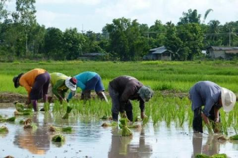 آشنایی با مراحل کاشت برنج در شالیزار و گلدان چگونگی کاشت برنج
