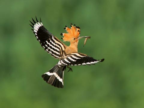 آشنایی با پرنده شانه به سر (هدهد)