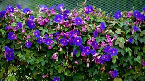 نحوه کاشت و نگهداری از گل نیلوفر نگهداری از گل نیلوفر