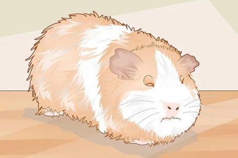 مراقبت از خوکچه ی هندی با عفونت گوش
