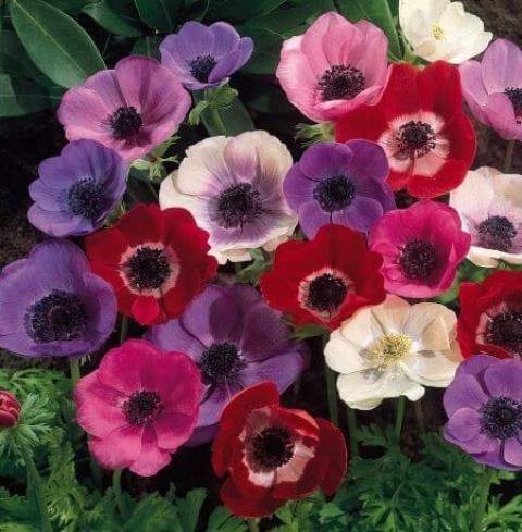 همه چیز در مورد گل شقایق کاشت و نگهداریگل شقایق