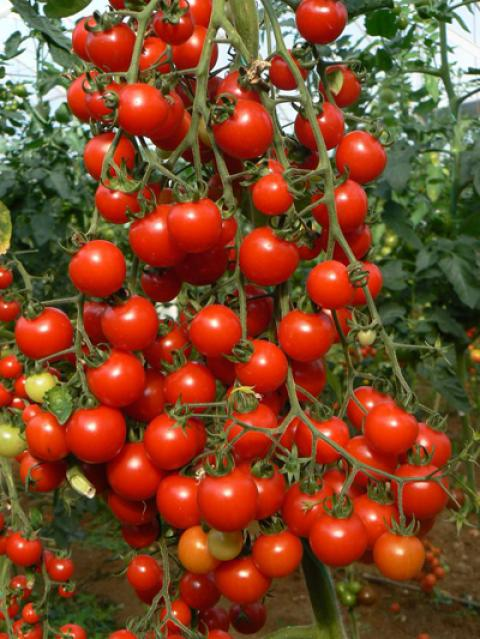 نحوه کاشت گوجه چری (گیلاسی)