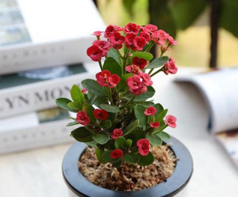 نگهداری از گل مرجان (فرفیون)