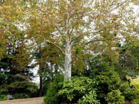 همه چیز در مورد درخت چنار درختی بلند قامت و مقدس معرفی و مشخصات درخت چنار