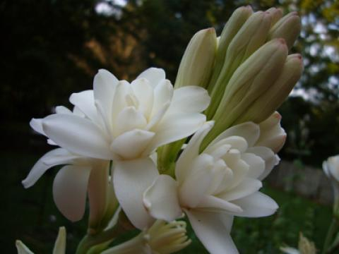 آشنایی با نحوه کاشت و نگهداری گل مریم