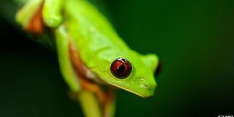 باکتری پوست قورباغهها از انقراضشان جلوگیری میکند